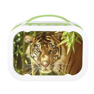 カリフォルニア、サンフランシスコ動物園、Sumatranのトラ ランチボックス