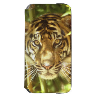 カリフォルニア、サンフランシスコ動物園、Sumatranのトラ iPhone 6/6sウォレットケース