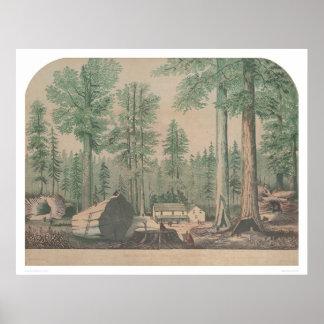 カリフォルニア(1191年)の巨大な木 ポスター