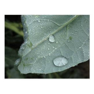 カリフラワーの葉の雨滴 ポストカード