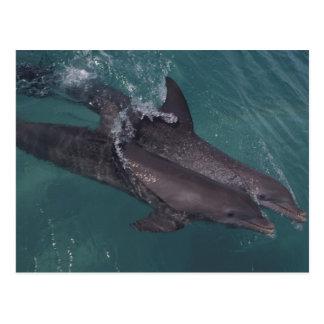 カリブのバンドウイルカのハンドウイルカ属10 ポストカード