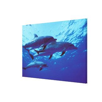 カリブ、バハマはイルカに斑点を付けました キャンバスプリント