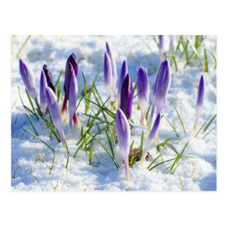 カード雪の紫色のクロッカスの花 ポストカード