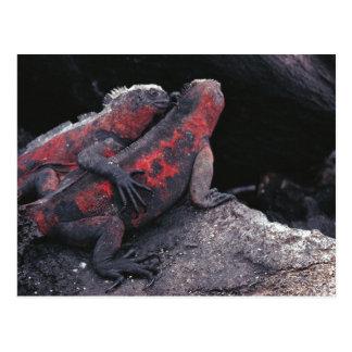 ガラパゴスのイグアナ ポストカード
