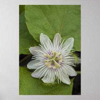 ガラパゴスの情熱の花のPassifloraのfoetida ポスター