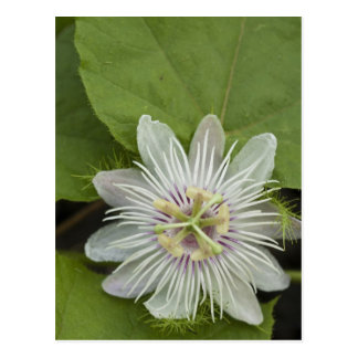 ガラパゴスの情熱の花のPassifloraのfoetida ポストカード