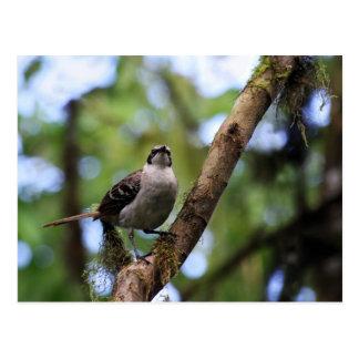 ガラパゴス諸島のマネシツグミ、エクアドル ポストカード