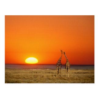 キリンのカップルは日没に、歩きます ポストカード