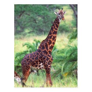 キリン、Giraffaのcamelopardalis、タンザニアアフリカ2 ポストカード
