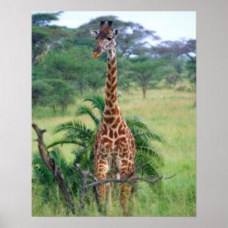 キリン、Giraffaのcamelopardalis、タンザニアアフリカ ポスター
