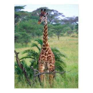キリン、Giraffaのcamelopardalis、タンザニアアフリカ ポストカード