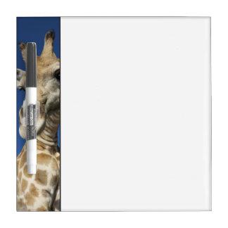 キリン(Giraffa Camelopardalis)のポートレート ホワイトボード