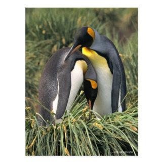 キングペンギンの恋人 ポストカード