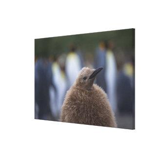 キングペンギン(コウテイペンギン属のpatagonicus)ひよこ、 キャンバスプリント