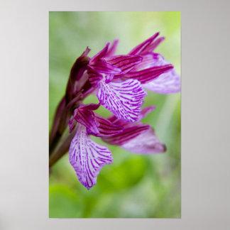 ギリシャ、クレタ。 開花の蝶蘭 ポスター