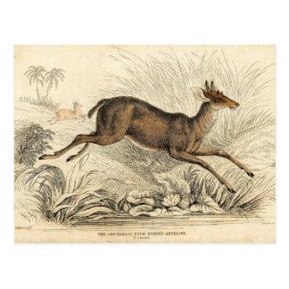 クラシックな動物学のエッチング- Chickaraのカモシカ ポストカード