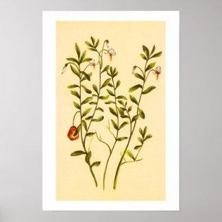 クランベリーの植物のヴィンテージの絵 ポスター