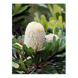 クリーム色のオーストラリアのバンクシアの花 ポストカード
