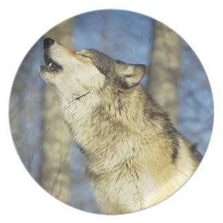 、クローズアップ遠ぼえしている、オオカミ(イヌ属ループス)カナダ プレート