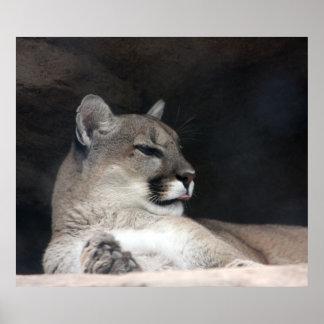 クーガーのオオヤマネコのポートレートのクローズアップ ポスター