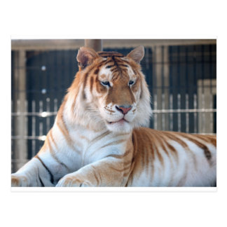 クーガー山の動物園1の金虎猫のトラ ポストカード