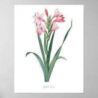 グラジオラスの良質の植物のプリント ポスター