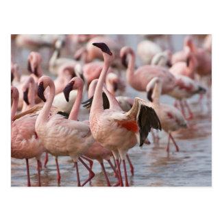 ケニヤの湖Nakuruの国立公園。 フラミンゴのウェード ポストカード