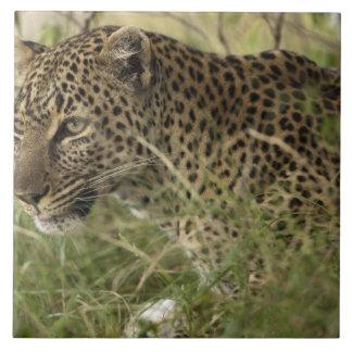 ケニヤ、マサイ族のマラのゲームの予備。 アフリカのヒョウ2 タイル