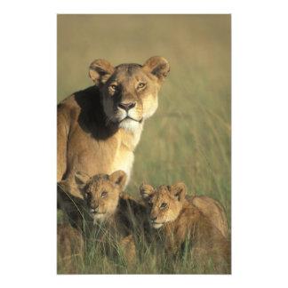 ケニヤ、マサイ族のマラのゲームの予備、ライオンの子 フォトプリント
