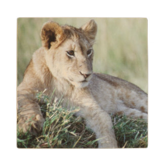 ケニヤ、マサイ語マラのライオンの子のモデル ウッドコースター
