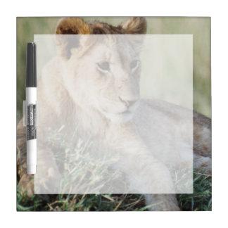 ケニヤ、マサイ語マラのライオンの子のモデル ホワイトボード