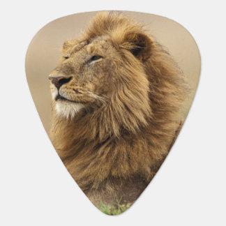 ケニヤ、マサイ語マラ。 シロアリの成人男子のライオン ギターピック