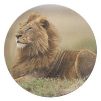 ケニヤ、マサイ語マラ。 シロアリの成人男子のライオン プレート