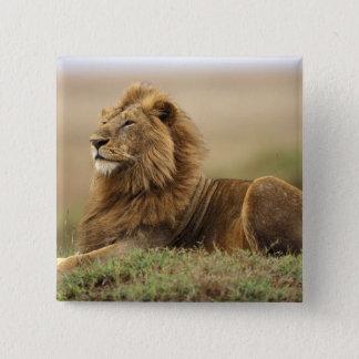 ケニヤ、マサイ語マラ。 シロアリの成人男子のライオン 5.1CM 正方形バッジ