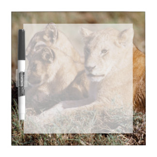 ケニヤ、マサイ語マラ、ライオンの子 ホワイトボード