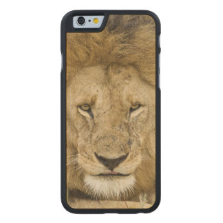 ケニヤ、マサイ語マラ。 顔をに休ませている2頭のライオン ケース