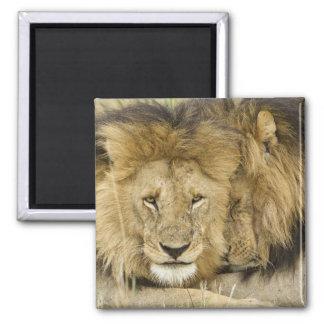 ケニヤ、マサイ語マラ。 顔をに休ませている2頭のライオン マグネット