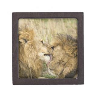 ケニヤ、マサイ語マラ。 1頭のオスのライオンのクローズアップ ギフトボックス
