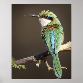 ケニヤ。 肢のソマリ族の蜂食べる人の鳥。 信用次のように: ポスター