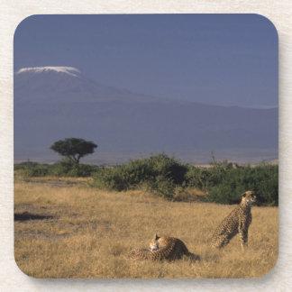ケニヤ: Amboseliの2頭のチータ(「Acinonyx コースター
