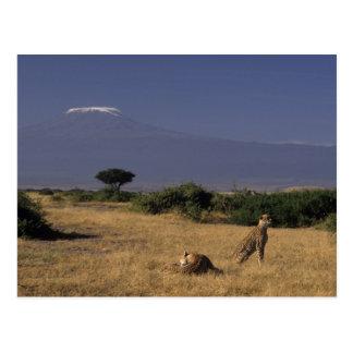 ケニヤ: Amboseliの2頭のチータ(「Acinonyx ポストカード