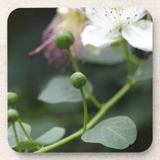 ケーパーの薮の芽、Capparis spinos. コースター