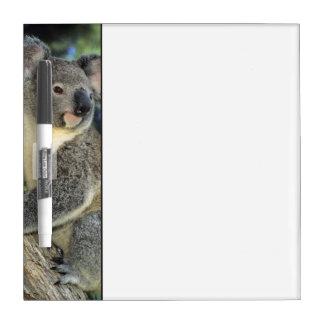コアラ、Phascolarctosのcinereus)、オーストラリア、 ホワイトボード
