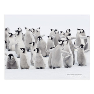 コウテイペンギン(コウテイペンギン属のforsteri) ポストカード
