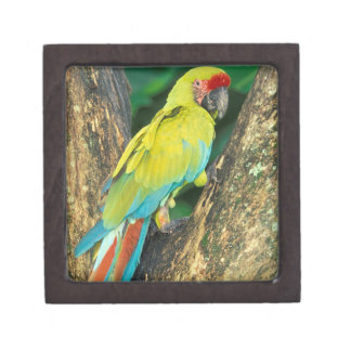 コスタリカのAra Ambiguaの素晴らしい緑のコンゴウインコ ギフトボックス