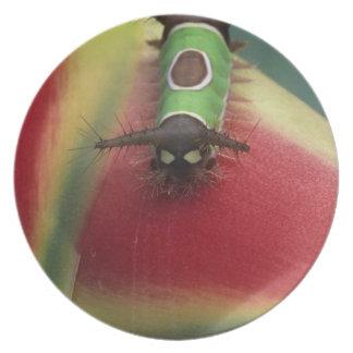 コスタリカのHeliconiaの幼虫のクローズアップ プレート