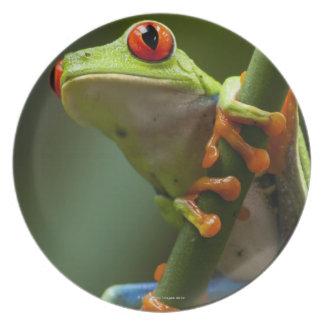 コスタリカ、Monteverdeの目が赤いアマガエル プレート