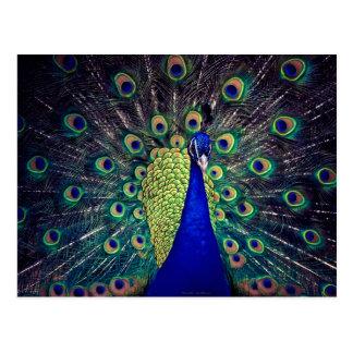 コバルトブルーの孔雀 ポストカード