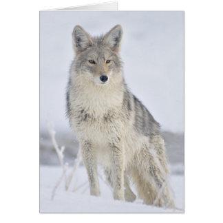コヨーテ-スティーブンHolt著野性生物の写真撮影 カード