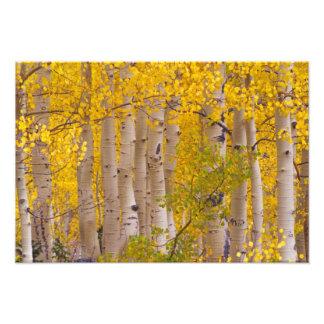 コロラド州のKeblerのパスの秋の《植物》アスペン フォトプリント